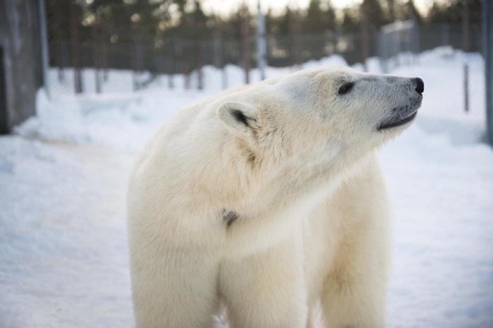 Eine neue Eisbärendame für Wilbär