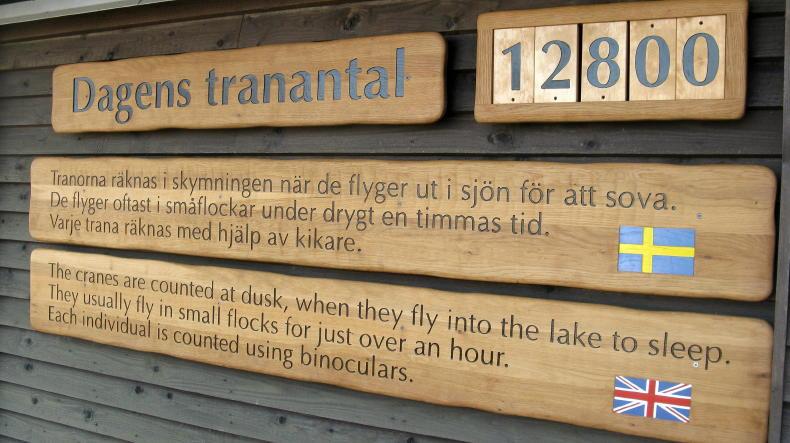 Kraniche am Hornborgasee beim Naturum Trandansen