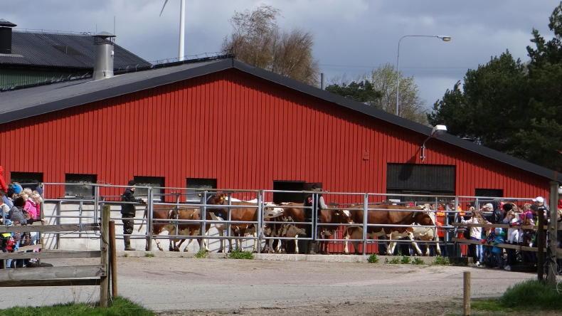 Kosläpp, der Kuhaustrieb auf schwedisch