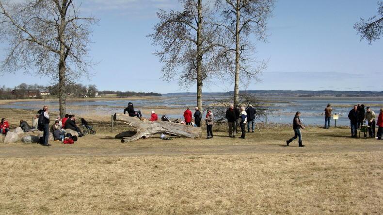 Kraniche am Hornborga-See bei Trandansen