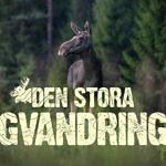 Die große Elchwanderung - drei Wochen lang live und rund um die Uhr aus Schweden